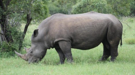 White rhino on a private reserve inside Kruger National Park. Photo by Julia Salnicki