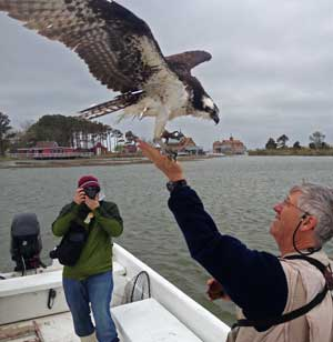 Releasing first osprey Photos by John Rodenhausen/CBF Staff