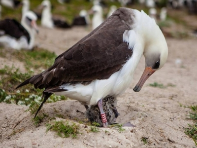 Wisdom, the oldest banded bird to give birth, with her latest chick.