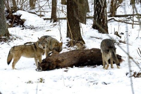 Wolves feed on carcass of a wild bison