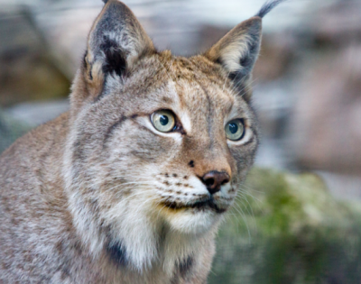 European Lynx, one of the 150+ mammal species in the European Green Belt. Courtesy of EuroVelo.