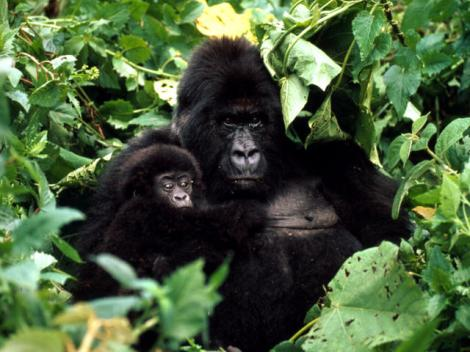 Mountain Gorilla with baby, Rwanda. Courtesy of World Wildlife Fund.