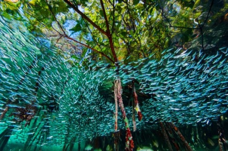 Silversides at the Queen Marine Reserve. Copyright David Doubilet.