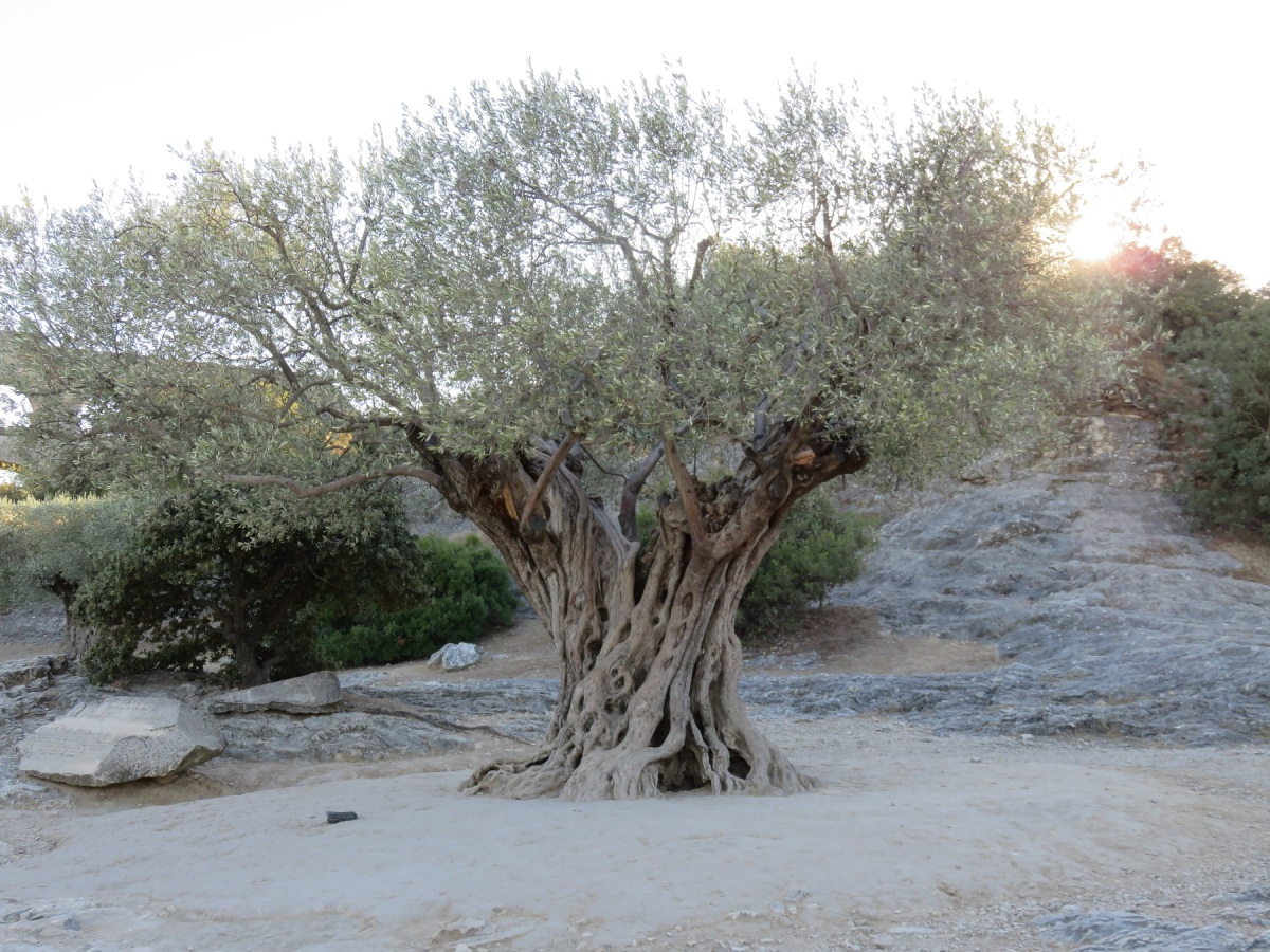 An ancient olive tree near the Pont du Gard, France. Click here to start the slide show.