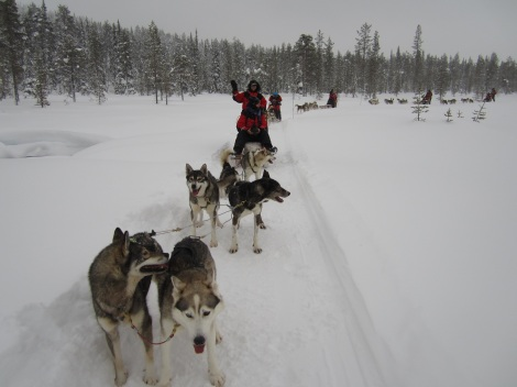 At the husky farm, dog team draws each sled. Photo by Aik Meeuse, Creative Commons 3.0