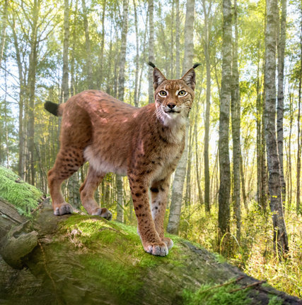 Eurasian Lynx from Seasons