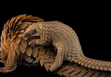 African White Bellied Tree Pangolin and baby, hunted for their meat and scales. Copyright Joel Sartore/National Geographic Photo Ark