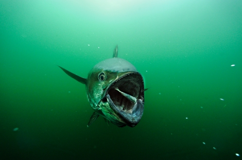 "Bluefin tuna are ""oceanic perfection,"" says Skerry. They are capable of growing their entire lives. It's just that humans are too good at hunting them for sushi. Stocks have plummeted because of human consumption. ©Brian Skerry National Geographic"