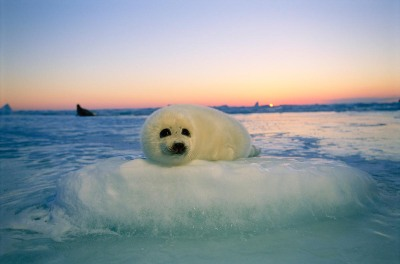"A baby harp seal rests on a ""pillow"" of ice. Copyright Brian Skerry/National Geographic"