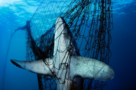 Still Waters: A thresher shark meets death in a gill net in Mexico's Gulf of California.  Named one of the Geographic's 50 greatest photographs of all time! ©Brian Skerry