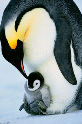Emperor Penguin and chick. Copyright Frans Lanting. lanting.com