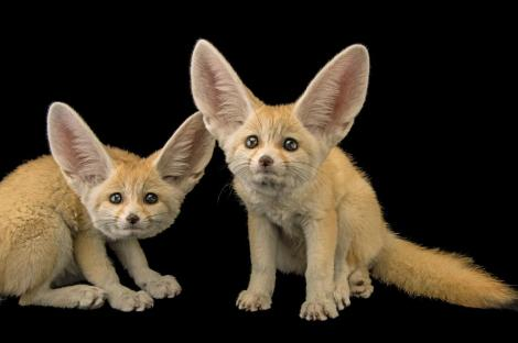 Fennec Fox at the St. Louis Zoo. Joel Sartore/ National Geographic Photo Ark. Look at those ears! A cooling device.