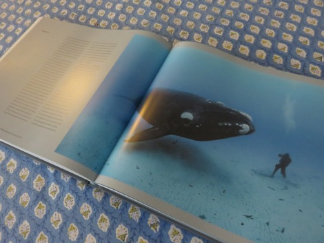A spread from Ocean Soul on the Southern Right Whale. Skerry's next big project will be whales, their communities and communications! ©Brian Skerry/National Geographic