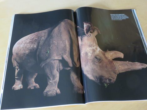 A week after Sartore took this portrait of Nabire, a northern white rhino, she was dead; then several months later another died, leaving only three of this subspecies remaining on the planet. Courtesy of National Geographic April 2016 issue.