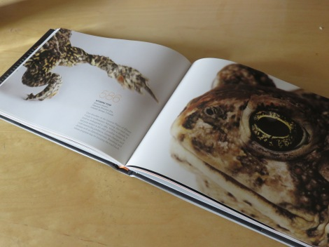 A spread in Sartore's book Rare, the Wyoming Toad (Anaxyrus baxteri), once abundant in SE Wyoming, down to 586 when he did this portrait. Listed as endangered in 1984. (Courtesy of Rare, Portraits of America's Endangered Species.