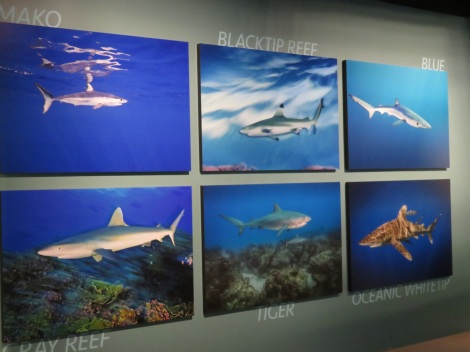 Black Tip Reef, Blue, Tiger, Gray Reef, Tiger and Oceanic Whitetip -- all featured in Shark - National Geographic exhibition Washington DC Summer 2017