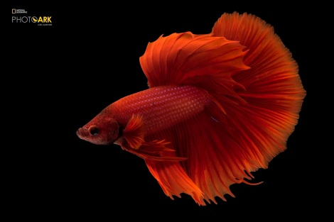 Siamese fighting fish or betta (Betta splendens) in Lincoln, Nebraska. Copyright Joel Sartore/National Geographic Photo Ark.