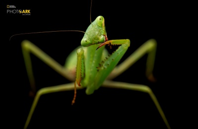 A springbok mantis (Miomantis caffra) at the Auckland Zoo. Copyright Joel Sartore/National Geographic Photo Ark.