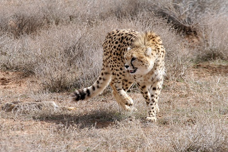 Iranian cheetah at Khar Turan National Park in Iran, the last of the Asiatic cheetahs live here.