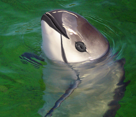 Vaquita face. The most critically endangered whale