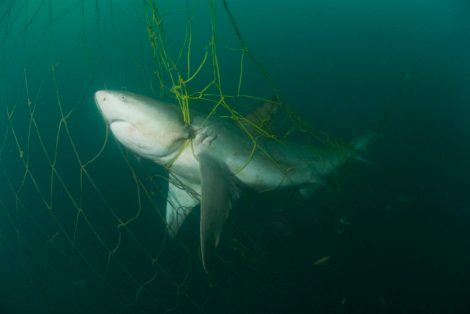 Zambezi Shark in the nets taken in Durban, Kwa-zulu Natal , South Africa in July 2007. Courtesy Marine Photo Bank