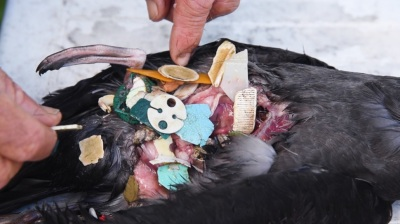 Bird stomach full of plastic. Courtesy of Ian Hutton.