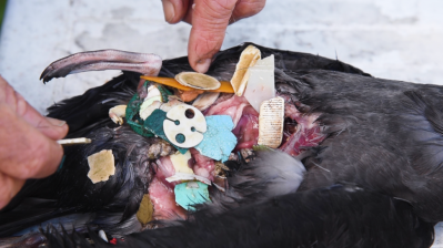 Bird stomach full of plastic. Courtesy of Ian Hutton