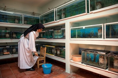 Sister Rosa Cortez cleans the aquaria in which the achoques are bred. Credit Adriana Zehbrauskas for The New York Times. All rights reserved.