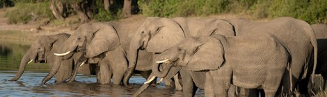 Wild elephants in Botswana. Image courtesy of the African Wildlife Foundation