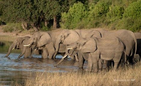Wild elephants in Botswana. Image courtesy of the African Wildlife Foundation