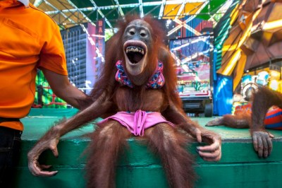 "Orangutans in ""bikinis"" forced to fight each other. Courtesy of Caters News Agency"