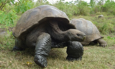 Giant tortoise on Galapagos. Photo courtesy Calex Hearn